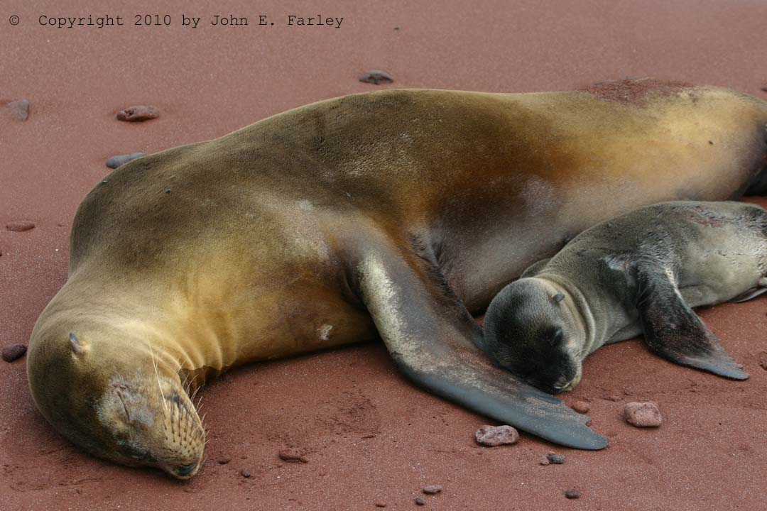 Mother With Newborn Baby Sea Lion